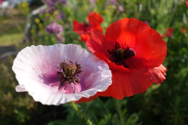 Mohn, Photo H. Gamradt