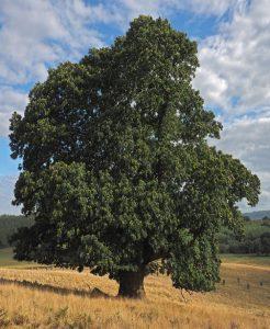 Die Ess-Kastanie, Baum des Jahres 2018, Foto: Roloff/DGS