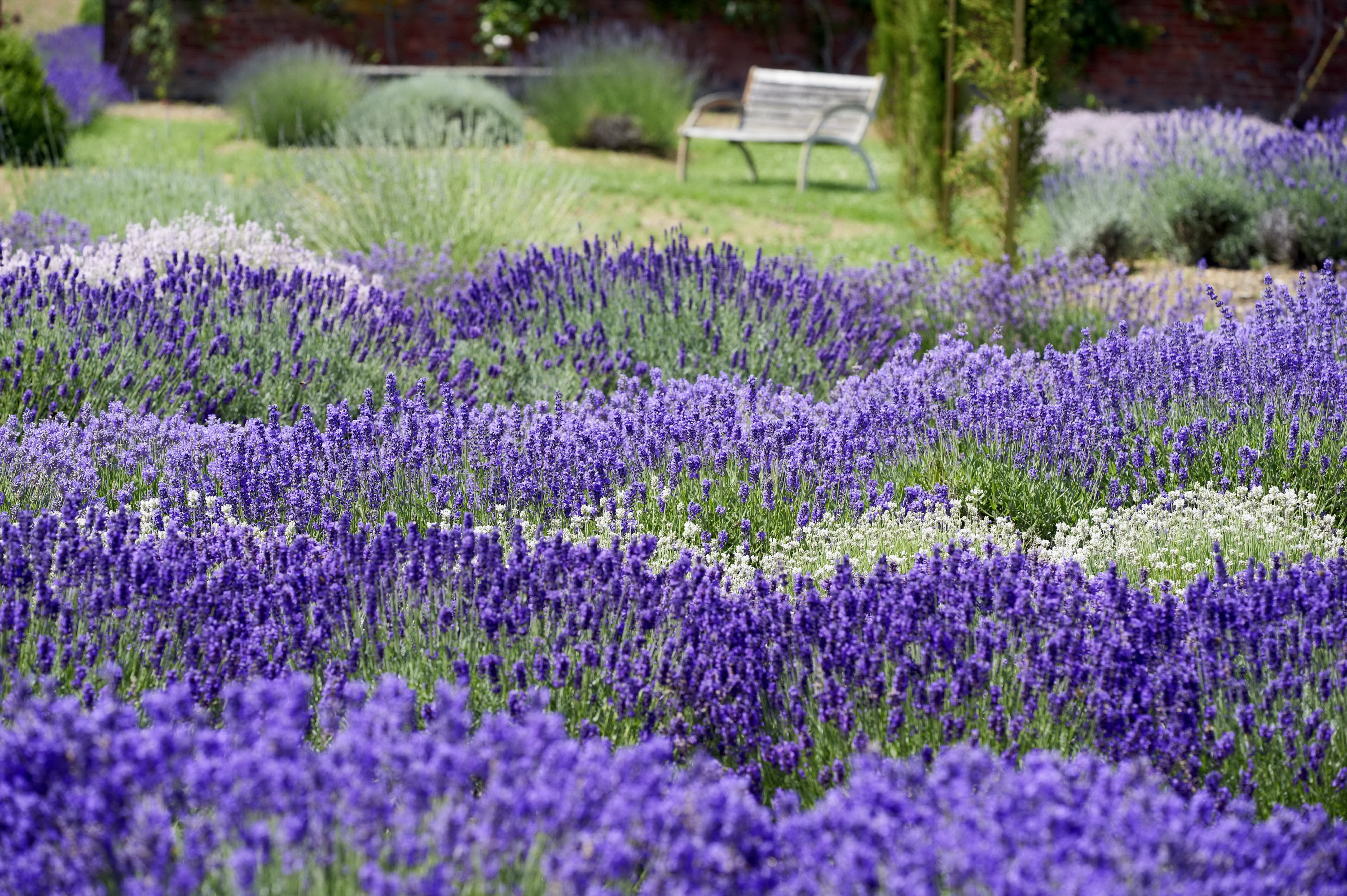 Lavendel in der Gartengestaltung Photo: Helix