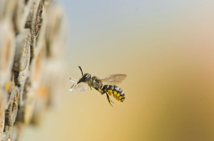 Wildbienen nisten in Röhren, zum Beispiel in Pflanzenstängeln oder auch in Altholz. Foto: Neudorff/txn