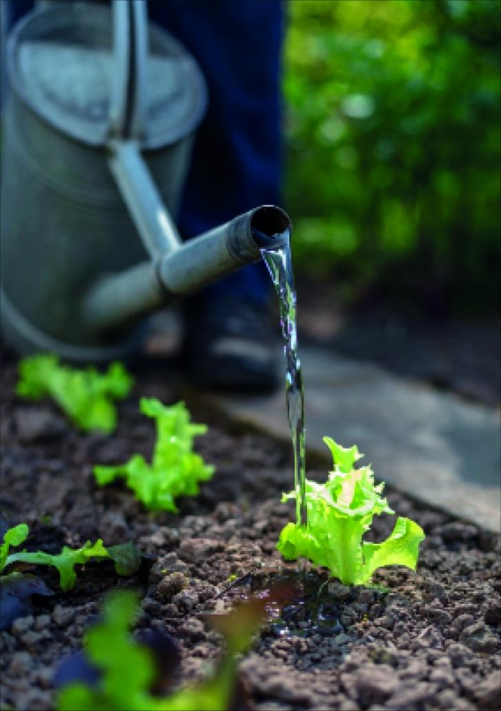 Am besten alle 2-3 Tage früh morgens gießen – nicht über die Blätter, sondern direkt auf den Boden. Wenn möglich, gesammeltes Regenwasser verwenden. Foto: Neudorff/txn